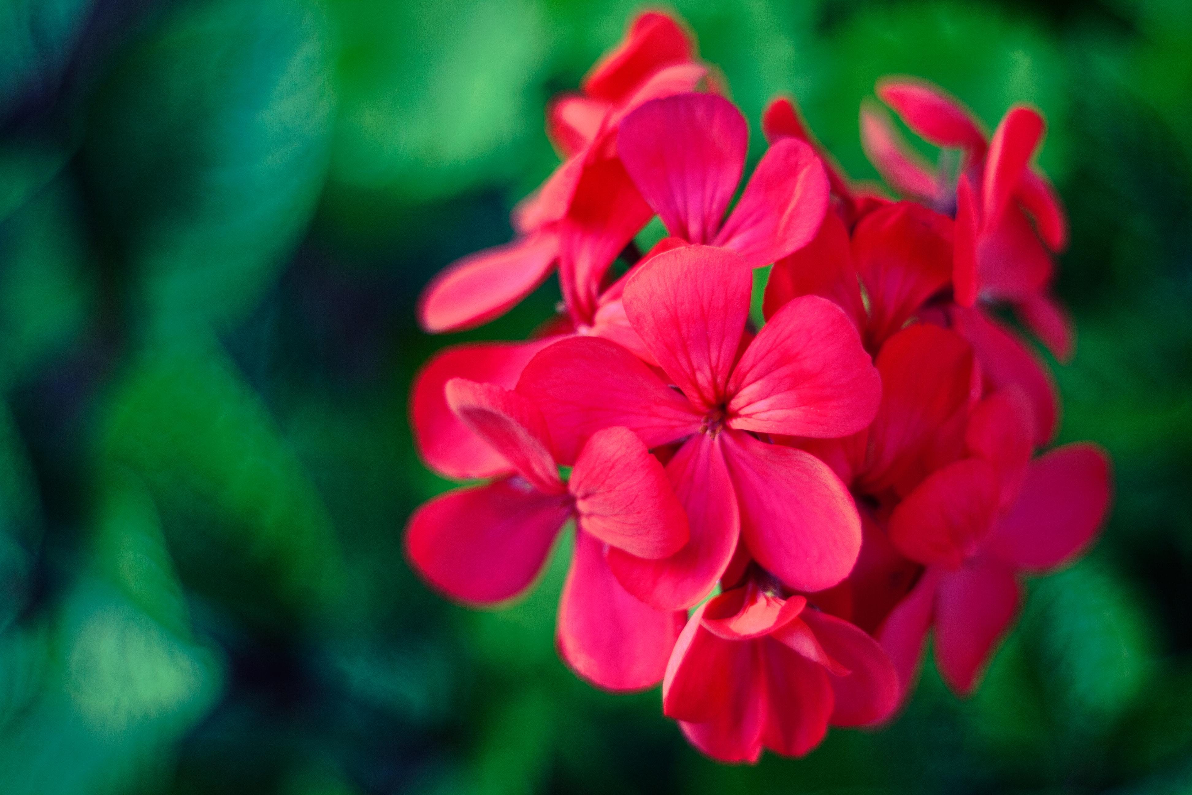 ulei esential de muscata trandafir